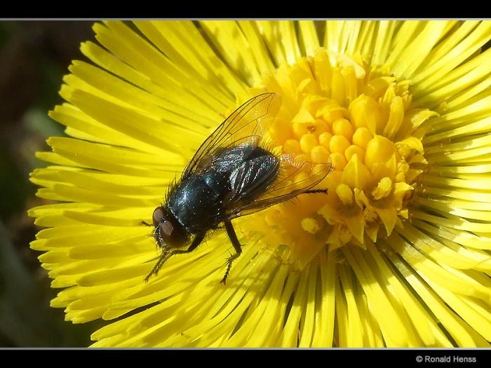Fliege auf Huflattich