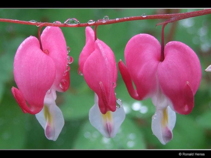 Tränende Herzen - Lamprocapnos spectabilis