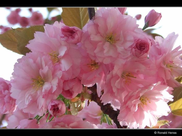 Frühling Blüten Frühlingsrosa