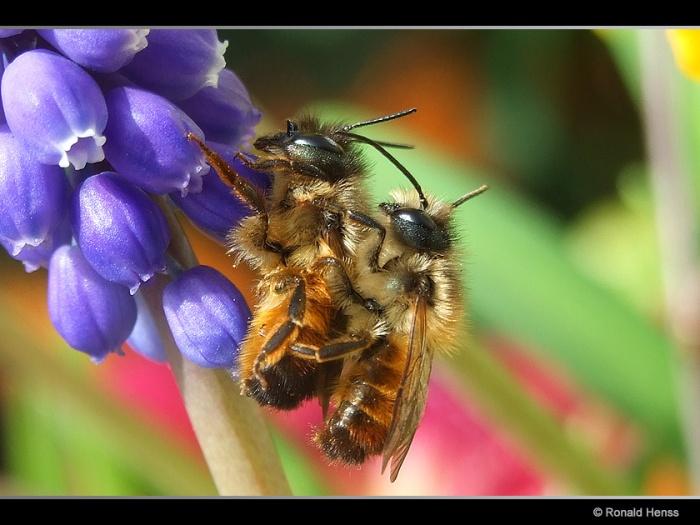 Insekten Bienen bei der Paarung
